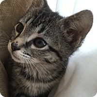 Adopt A Pet :: Vivian - Horsham, PA
