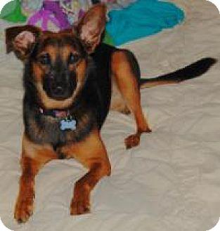 Sheltie, Shetland Sheepdog/German Shepherd Dog Mix Dog for adoption in Charlotte, North Carolina - Max