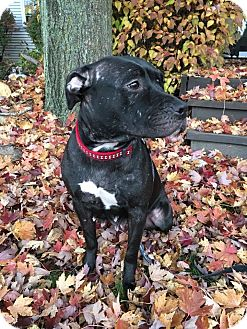 Labrador Retriever/American Pit Bull Terrier Mix Dog for adoption in Elgin, Illinois - *Sheba