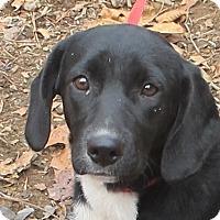 Adopt A Pet :: Allie - Hagerstown, MD