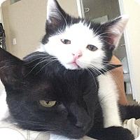 Domestic Shorthair Kitten for adoption in Pasadena, California - Miss Top Hat