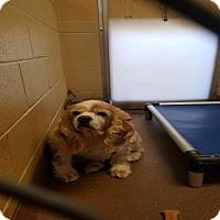 Adopt A Pet :: Snoopy -Urgent Shelter Listing - Kannapolis, NC