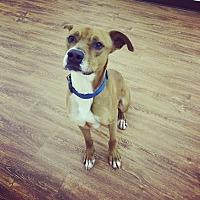 Boxer Mix Dog for adoption in Seattle, Washington - Laramie