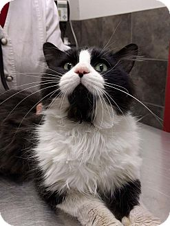 Domestic Mediumhair Cat for adoption in THORNHILL, Ontario - Whiskey
