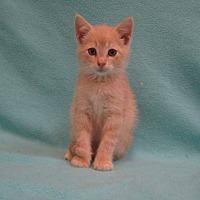 Domestic Shorthair Kitten for adoption in Redwood Falls, Minnesota - Zeke
