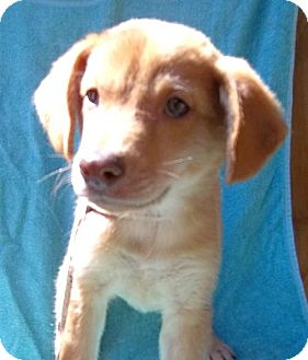 Terrier (Unknown Type, Medium) Mix Puppy for adoption in Anderson, South Carolina - Chase