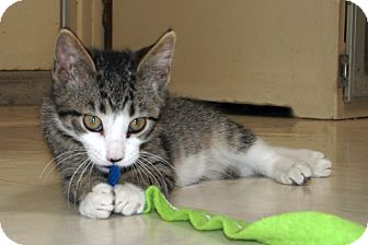Domestic Shorthair Kitten for adoption in Ruidoso, New Mexico - Finn