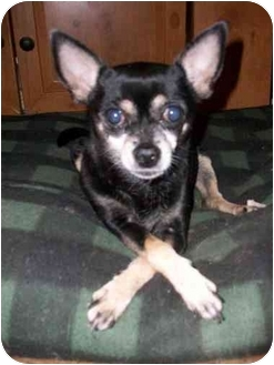 Chihuahua Dog for adoption in south plainfield, New Jersey - Abigail