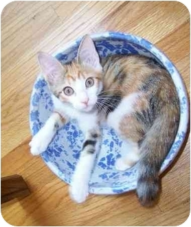 Calico Kitten for adoption in Taylor Mill, Kentucky - Avery