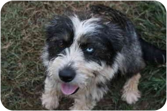 Terrier (Unknown Type, Medium)/Terrier (Unknown Type, Small) Mix Puppy for adoption in Prince William County, Virginia - Suzie & Sherie
