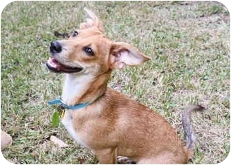 Rat Terrier/Dachshund Mix Puppy for adoption in Crosby, Texas - Charming Oakley