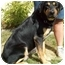 Photo 4 - Rottweiler/German Shepherd Dog Mix Dog for adoption in North Judson, Indiana - Curtis