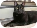Domestic Shorthair Cat for adoption in Vancouver, British Columbia - Jet