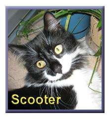 Maine Coon Cat for adoption in Aldie, Virginia - Scooter