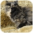 Photo 4 - Persian Cat for adoption in Columbus, Ohio - Lady Joy