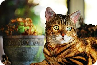 Bengal Cat for adoption in Lantana, Florida - Hunter