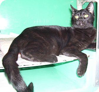 Domestic Shorthair Kitten for adoption in Somerset, Pennsylvania - Chloe II