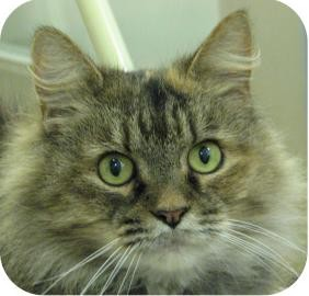 Maine Coon Cat for adoption in Ithaca, New York - Arwyn 13334-c
