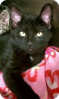 Domestic Shorthair Kitten for adoption in Orland Park, Illinois - Jack