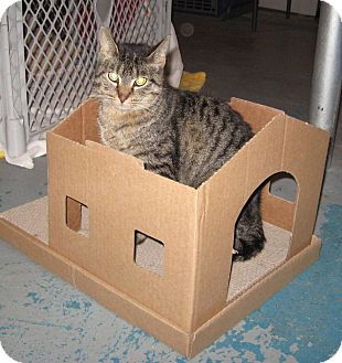 Domestic Shorthair Cat for adoption in Geneseo, Illinois - Weasel