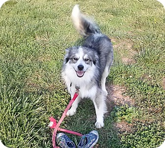 Australian Shepherd/Border Collie Mix Dog for adoption in castalian springs, Tennessee - Chuckie