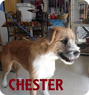 Terrier (Unknown Type, Medium) Mix Dog for adoption in Franklin, North Carolina - CHESTER