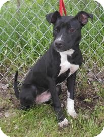 Pit Bull Terrier Mix Puppy for adoption in Gary, Indiana - Kallie