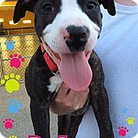 Adopt A Pet :: Roo - Burr Ridge, IL