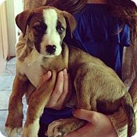 Adopt A Pet :: Cap'n Crunch - Medicine Hat, AB