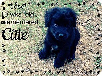 Retriever (Unknown Type) Mix Puppy for adoption in Gadsden, Alabama - Jose