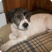 Adopt A Pet :: Baby Boulder - Marlton, NJ