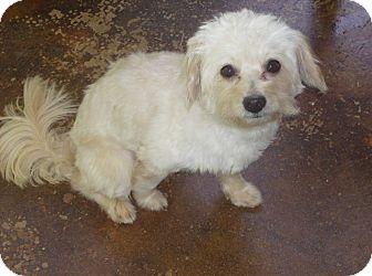 Maltese Mix Dog for adoption in Dothan, Alabama - Scooter