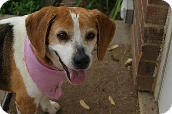 Beagle Mix Dog for adoption in Urbana, Ohio - Gracie
