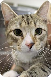 Domestic Shorthair Cat for adoption in Parma, Ohio - 15 Tennessee Ernie Ford