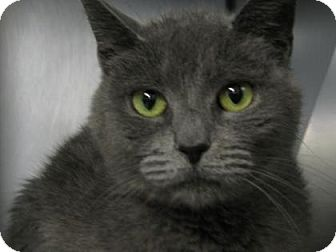 Domestic Shorthair Cat for adoption in Voorhees, New Jersey - Patsy-PetValu Marlton