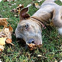 Adopt A Pet :: GRACIE - Waterbury, CT