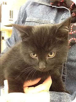 Domestic Shorthair Kitten for adoption in Warren, Ohio - Pepper