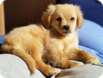 Labrador Retriever/Chihuahua Mix Puppy for adoption in Peoria, Arizona - CORONA