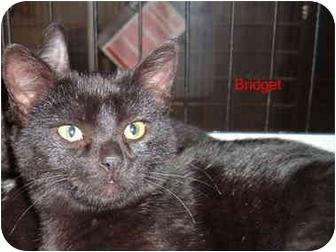 Domestic Shorthair Cat for adoption in Albany, New York - Bridget