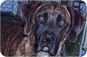 Labrador Retriever/Bullmastiff Mix Dog for adoption in Owatonna, Minnesota - Winston