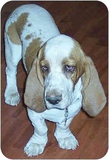 Basset Hound Puppy for adoption in Phoenix, Arizona - Tucker