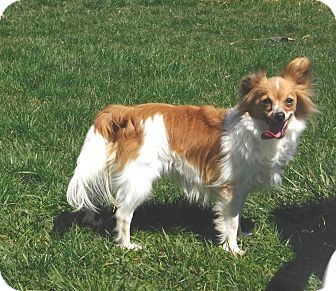 Papillon Dog for adoption in Conesus, New York - Gidget