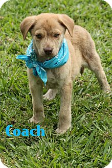 Golden Retriever/Catahoula Leopard Dog Mix Puppy for adoption in Glastonbury, Connecticut - Coach
