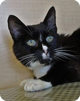 Domestic Shorthair Cat for adoption in Redding, California - Miss miss