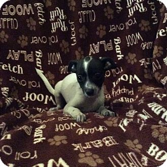 Rat Terrier Mix Puppy for adoption in Middleburg, Florida - Petunia