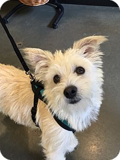 Terrier (Unknown Type, Small) Mix Dog for adoption in Gig Harbor, Washington - Buttons - Adoption Pending
