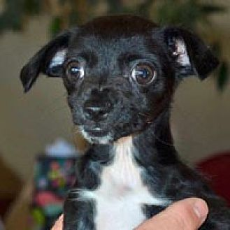 Chihuahua Mix Dog for adoption in Pacific Grove, California - Ruby