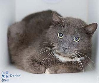 Domestic Shorthair Cat for adoption in Herndon, Virginia - Dorian *Cross Post