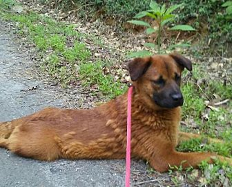 Chow Chow Mix Dog for adoption in Charlotte, North Carolina - Cammie