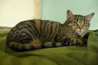 Domestic Shorthair/Domestic Shorthair Mix Cat for adoption in Westville, Indiana - Roy
